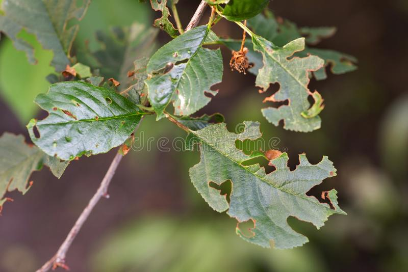 Damaged plant leaves, devouring. Eaten tree foliage struck by parasites.  royalty free stock photos