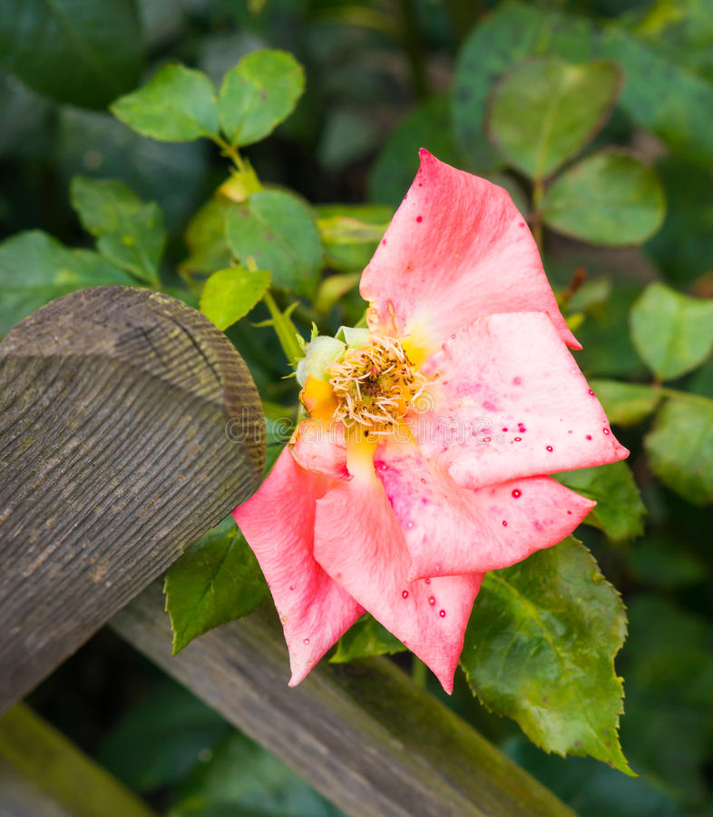 Damaged rose flower. Damaged pink rose flower with missing petals close to wooden fence royalty free stock images