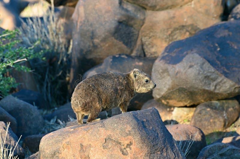Daman de roche, Namibie, Afrique photographie stock