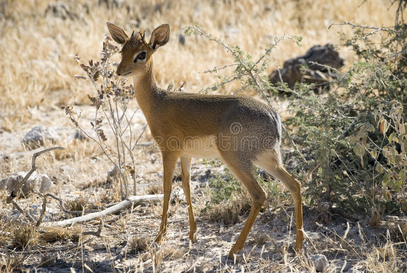 Damara Dik Dik, Africa's smallest antelope royalty free stock image