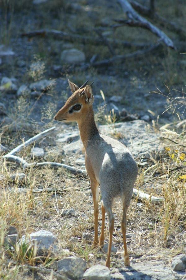Damara Dik-Dik, Namibie photo stock