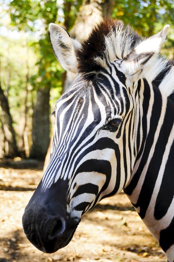 Damara Zebra royalty free stock images