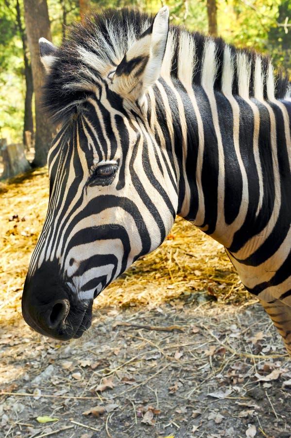 Damara Zebra royalty free stock image