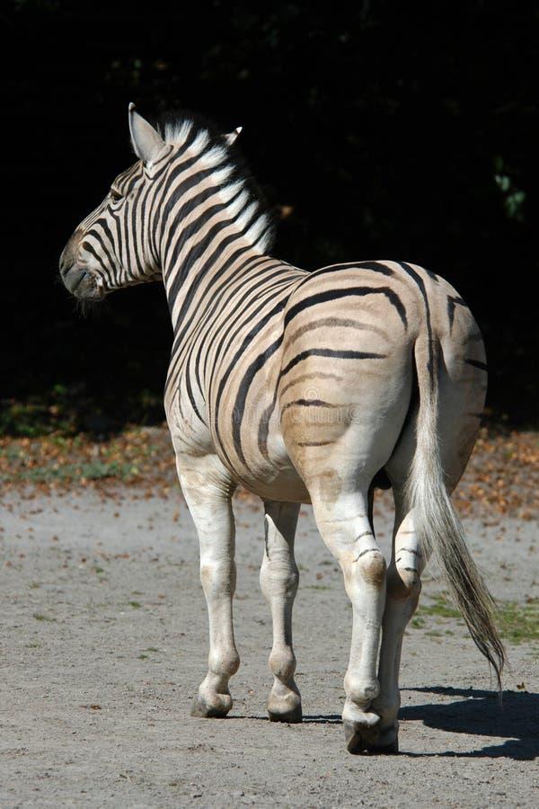 Damara zebra stock photo