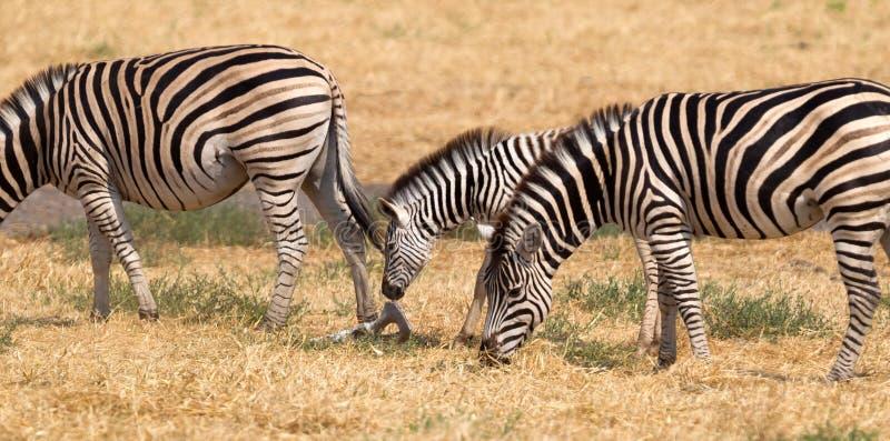 Damara zebra Equus burchelli antiquorum royalty free stock image