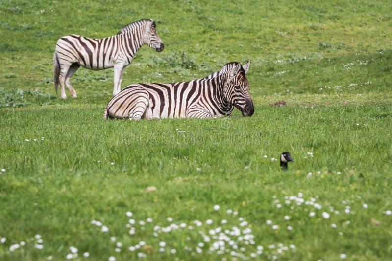 Damara Zebra- Equus burchellii antiquorum royalty free stock photo