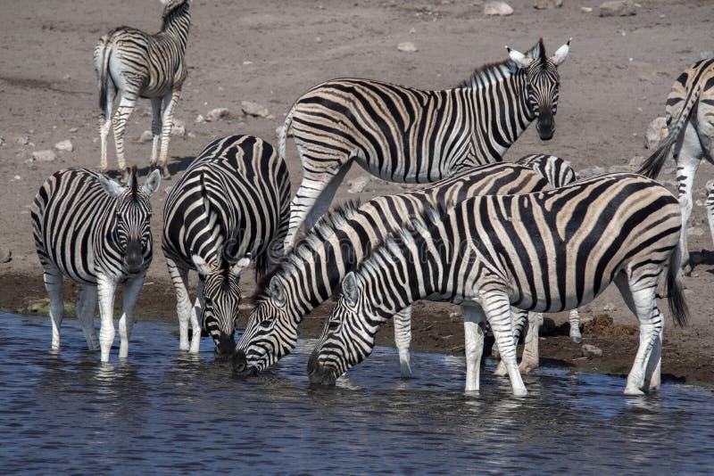 Damara zebra herd, Equus burchelli antiquorum, drinking in the waterhole Etosha National Park, Namibia. The Damara zebra herd, Equus burchelli antiquorum stock photography