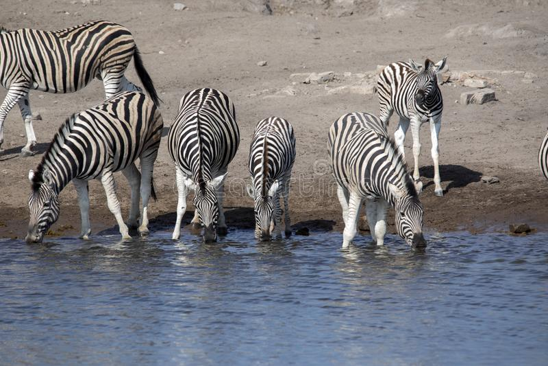 Damara zebra herd, Equus burchelli antiquorum, drinking in the waterhole Etosha National Park, Namibia. The Damara zebra herd, Equus burchelli antiquorum stock images