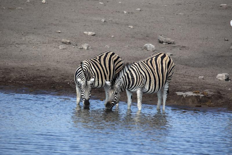 Damara zebra herd, Equus burchelli antiquorum, drinking in the waterhole Etosha National Park, Namibia. The Damara zebra herd, Equus burchelli antiquorum royalty free stock photography