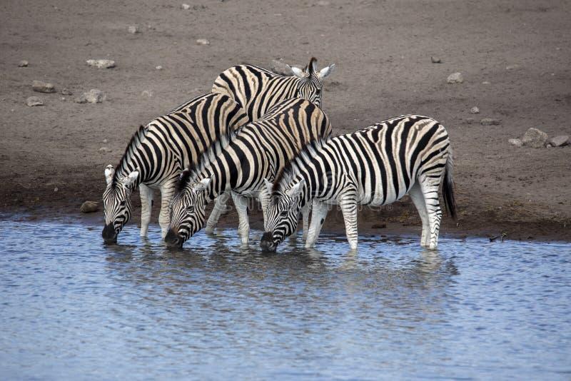 Damara zebra herd, Equus burchelli antiquorum, drinking in the waterhole Etosha National Park, Namibia. The Damara zebra herd, Equus burchelli antiquorum stock image