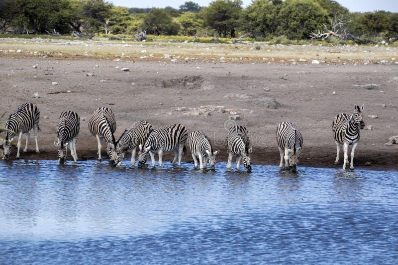 Damara zebra herd, Equus burchelli antiquorum, drinking in the waterhole Etosha National Park, Namibia. The Damara zebra herd, Equus burchelli antiquorum royalty free stock images