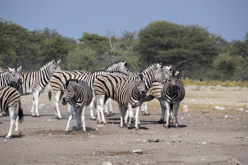 Damara zebra herd, Equus burchelli antiquorum, Etosha National Park, Namibia. The Damara zebra herd, Equus burchelli antiquorum, Etosha National Park, Namibia stock photos