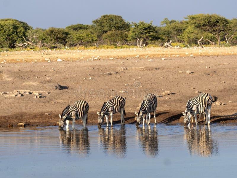 Damara zebra herd, Equus burchelli antiquorum, near waterhole, Etosha National Park, Namibia stock photo