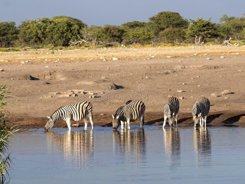 Damara zebra herd, Equus burchelli antiquorum, near waterhole, Etosha National Park, Namibia stock image