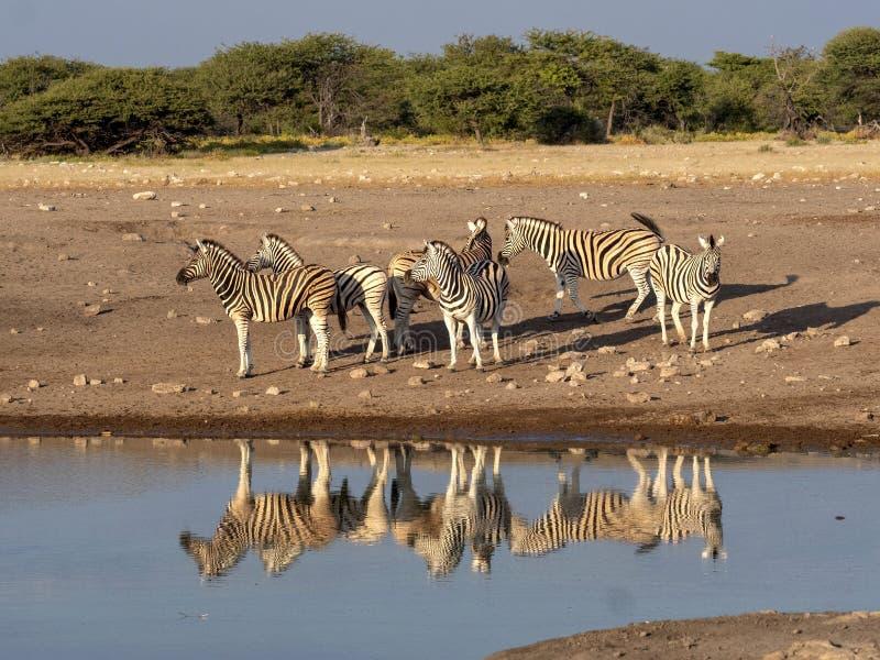 Damara zebra herd, Equus burchelli antiquorum, near waterhole, Etosha National Park, Namibia stock photos