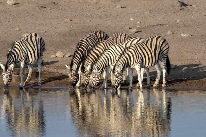 Damara zebra herd, Equus burchelli antiquorum, near waterhole, Etosha National Park, Namibia. The Damara zebra herd, Equus burchelli antiquorum, near waterhole stock photo