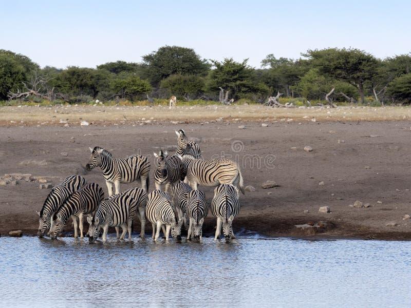 Damara zebra herd, Equus burchelli antiquorum, near waterhole, Etosha National Park, Namibia royalty free stock images