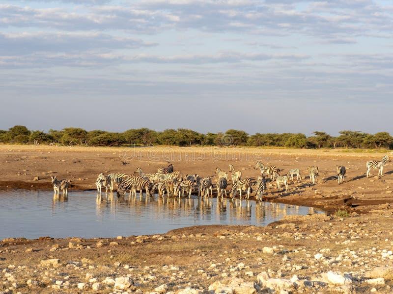 Damara zebra herd, Equus burchelli antiquorum, near waterhole, Etosha National Park, Namibia royalty free stock photography