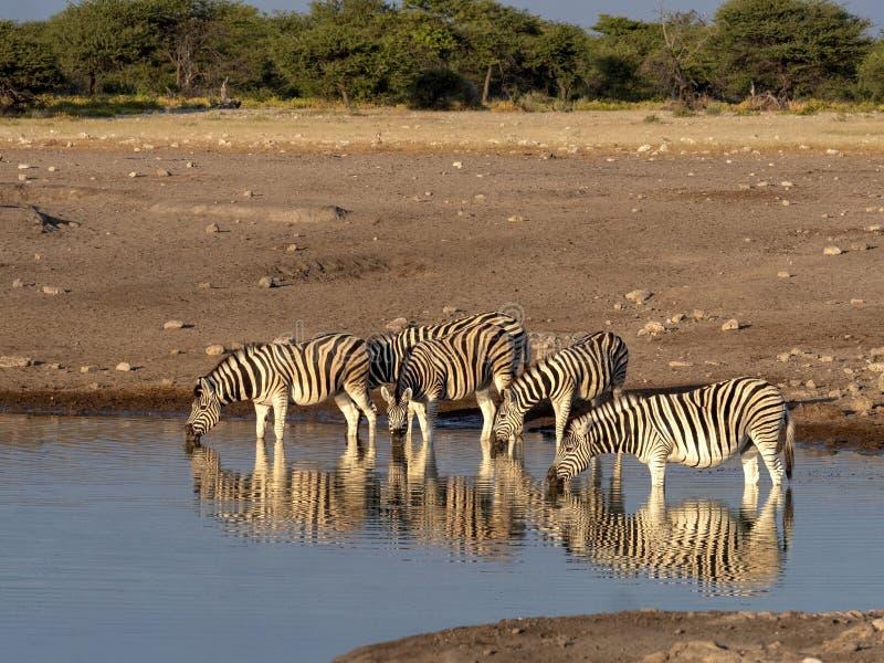 Damara zebra herd, Equus burchelli antiquorum, near waterhole, Etosha National Park, Namibia stock images