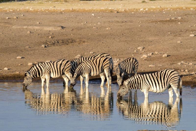 Damara zebra herd, Equus burchelli antiquorum, standing by waterhole, Etosha National Park, Namibia royalty free stock photo