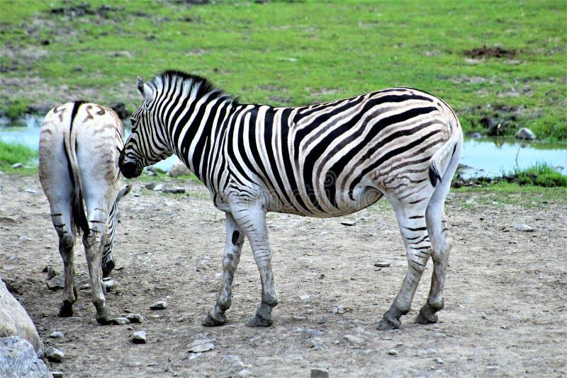 Parc Park Safari, Hemmingford, Quebec, Canada. Damara Zebra at the Parc Park Safari, located in Hemmingford, Quebec, Canada stock image