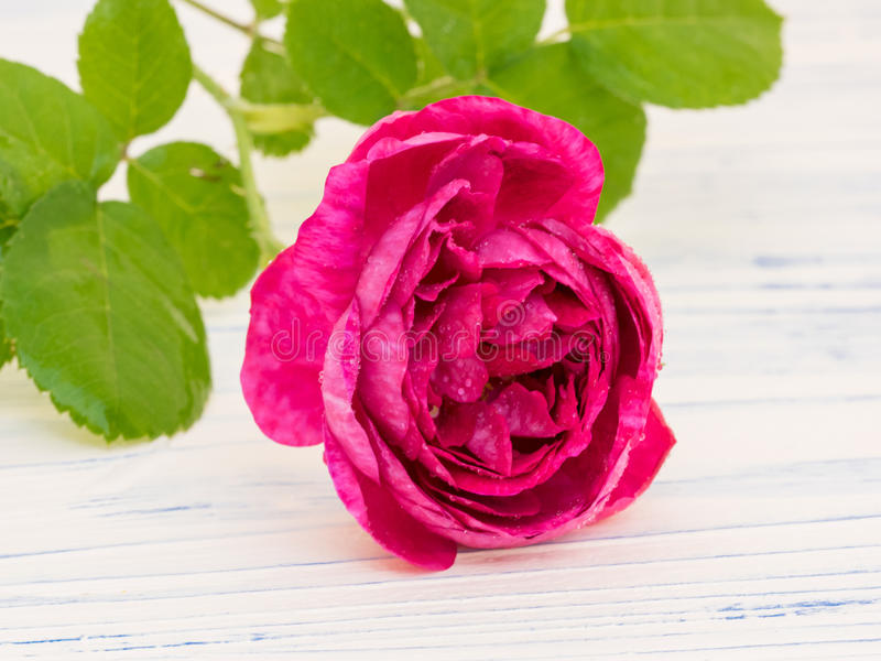 Damascus Rose. Rosa damascena has edible flower petals and is often use to make rose jam, syrup or tea stock photo