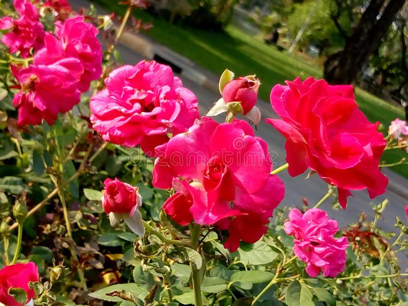 Damask αυξήθηκε άνθιση στο πάρκο Lumpini, Μπανγκόκ στοκ εικόνα με δικαίωμα ελεύθερης χρήσης
