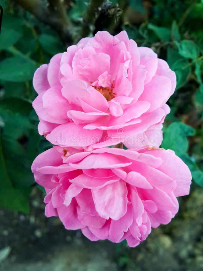 Damask rose flower in nature garden stock images