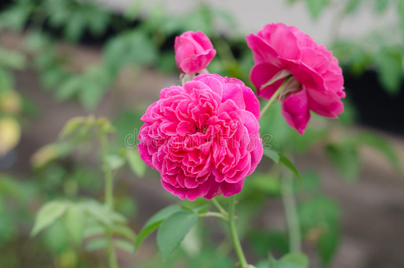 Damask rose stock photo