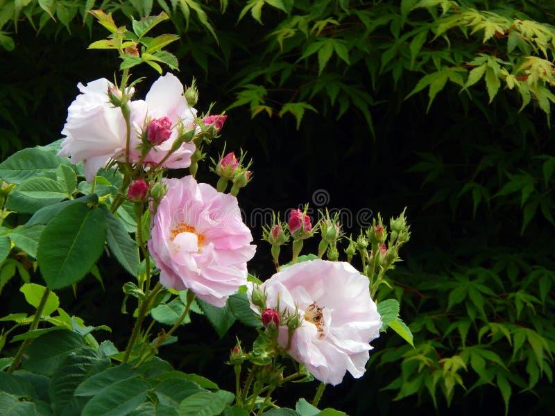 Damast Rose Flowers en Knoppen royalty-vrije stock afbeeldingen