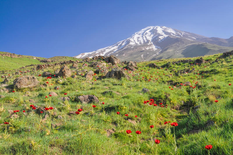 Damavand in Iran. Amazing green meadow with red poppies and volcano Damavand in the background, highest peak in Iran royalty free stock image