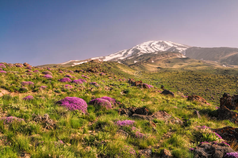 Damavand in Iran. Picturesque green meadow with purple flowers and volcano Damavand in the background, highest peak in Iran stock photos