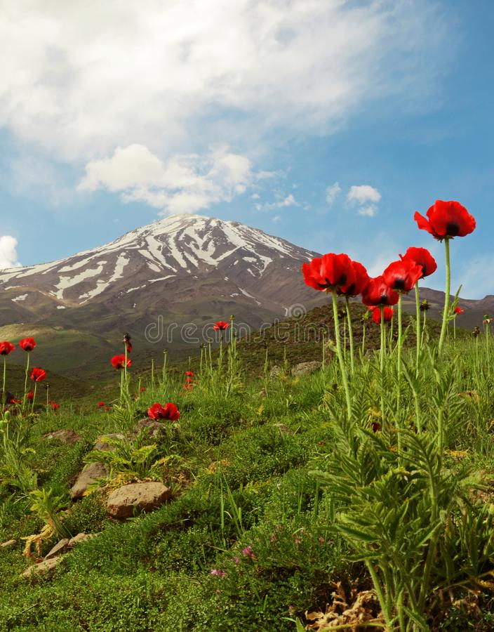 Damavand and Papaver flowers, Iran. Wild flowers in footsteps of Mount Damavand, the highest peak in Iran and semi active volcano royalty free stock photos