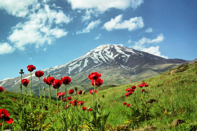 Damavand and Papaver flowers, Iran. Wild flowers in footsteps of Mount Damavand, the highest peak in Iran and semi active volcano stock photography