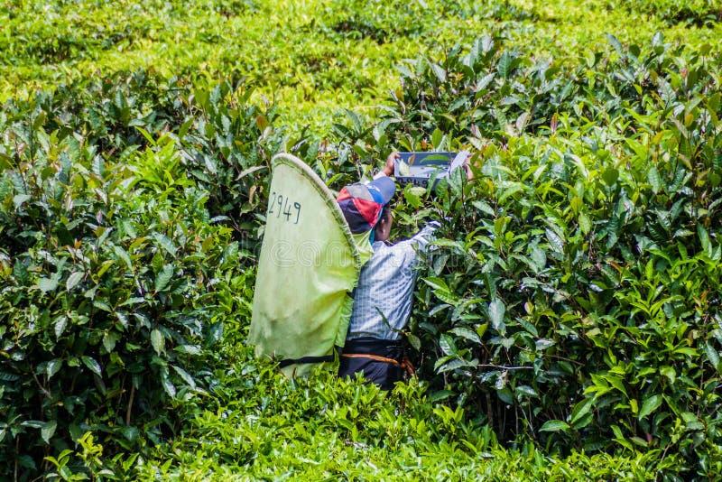 DAMBATENNE, SRI LANKA - 15 DE JULHO DE 2016: Trabalhador de uma plantação de chá perto do villag de Dambatenne fotografia de stock royalty free