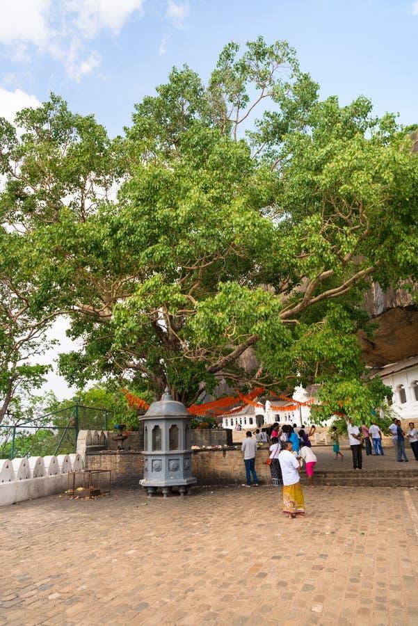 Holy bodhi ficus tree in the Dambulla Golden temple cave complex. DAMBULLA, SRI LANKA - NOV 2016: Holy bodhi ficus tree in the Golden temple cave complex stock photos