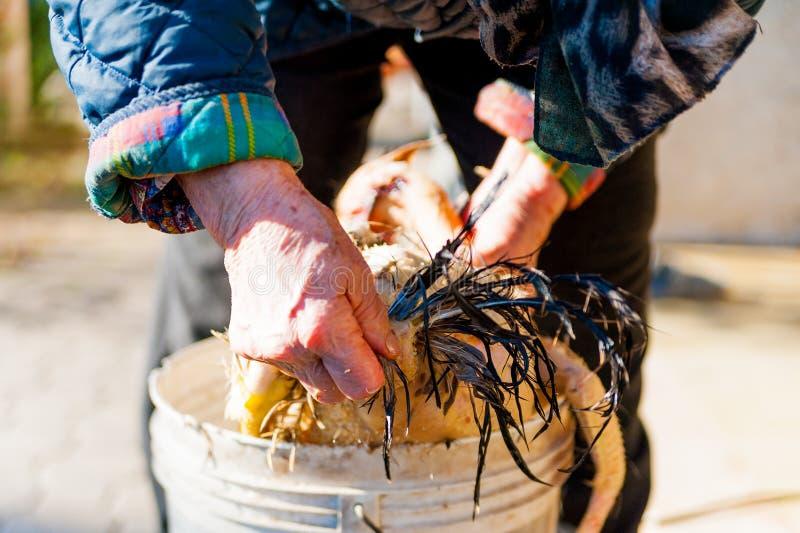 Dame âgée pelant le poulet frais la manière manuelle traditionnelle dans la ferme de campagne photographie stock