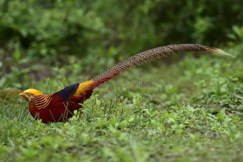 Dame Amherst Pheasant stock afbeelding