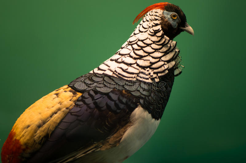 Dame Amhersts Pheasant stockfoto