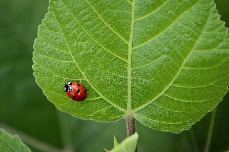 Dame Bug stock afbeeldingen