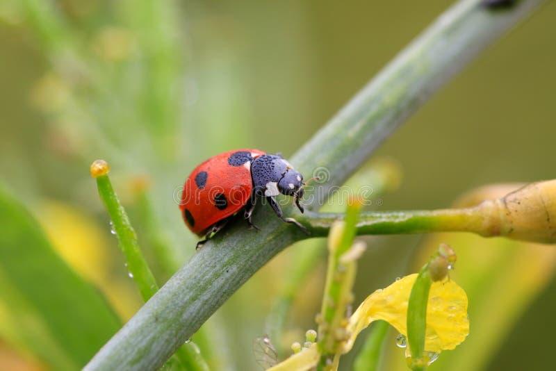 Dame Bug stock afbeelding
