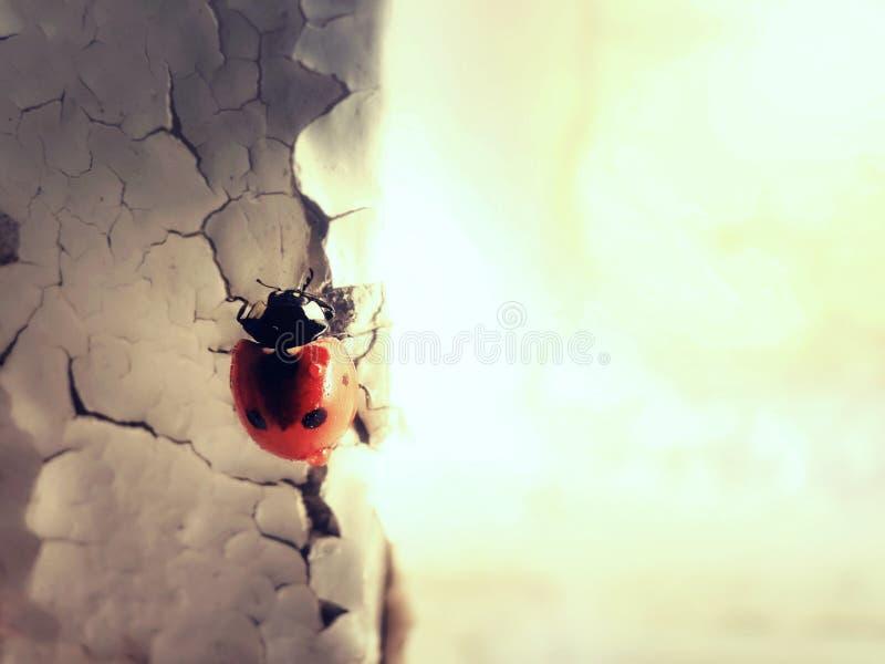 Dame Bug auf Wand lizenzfreies stockfoto