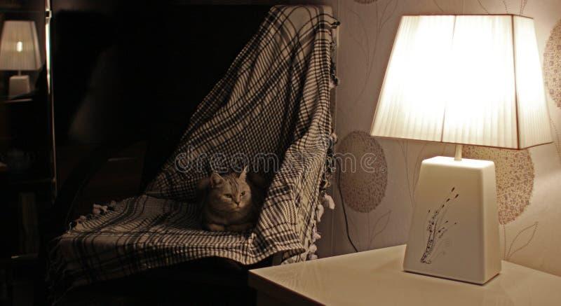 Download Dame-chat Britannique Ayant Un Repos Dans Un Fauteuil Image stock - Image du toujours, table: 45356613