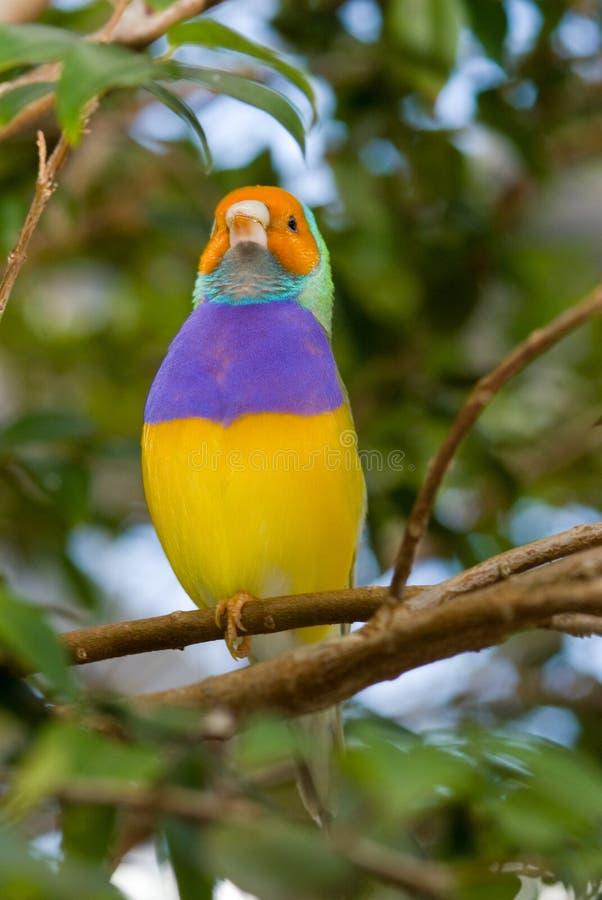 Dame Gouldian Finch (Erythrura gouldiae) lizenzfreie stockfotografie