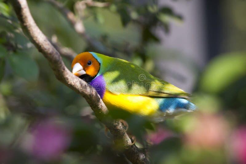 Dame Gouldian Finch gehockt - Erythrura gouldiae stockfoto
