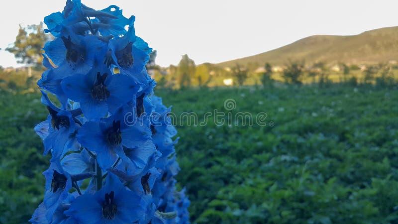 Dame Guinevere, charmant bloemenliefdelandschap van de blauwe ridderspoorbloem ' stock afbeelding