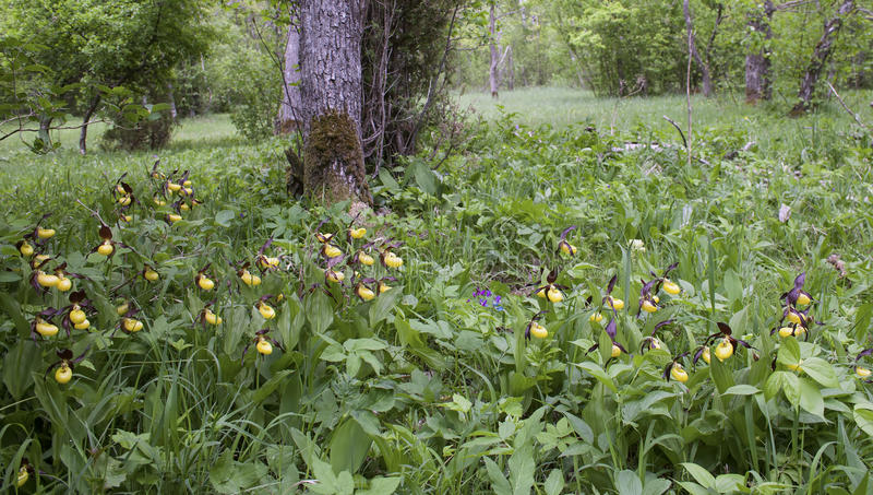 Dame-pantoffel orchidee in hun natuurlijke habitat royalty-vrije stock afbeeldingen
