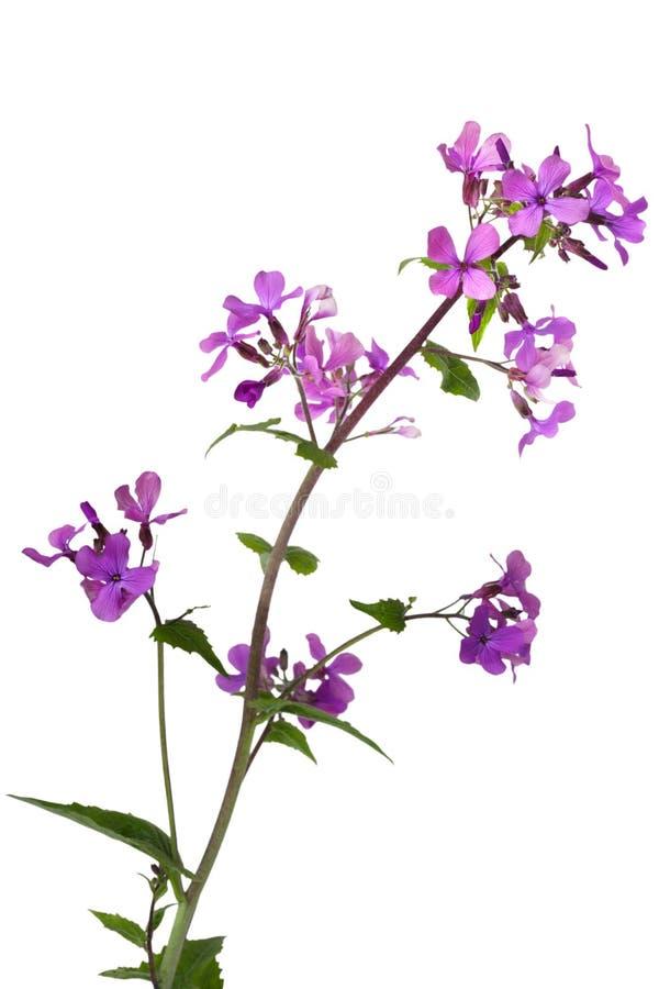 Download Dame Rocket Wild Flower stock image. Image of details - 14190375