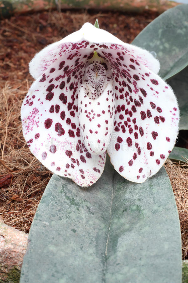 Dame Slipper Orchid stock foto