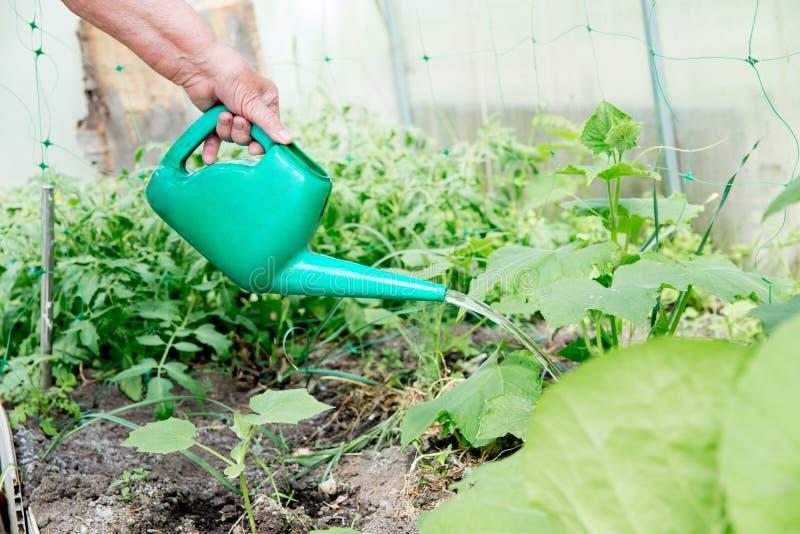 Dame supérieure décontractée travaillant dans ses légumes grandissants de jardin photographie stock libre de droits